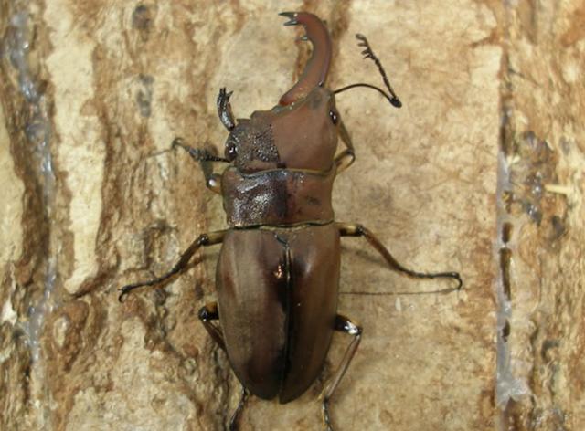 クワガタムシ 雌雄モザイク